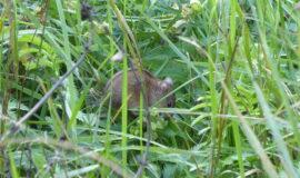 Maus im Garten